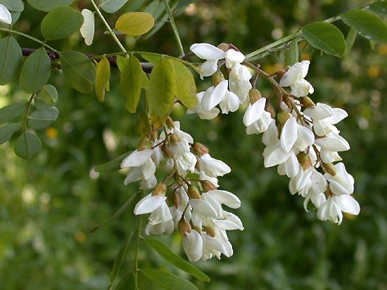 Robinia.pseudoacacia.ja3
