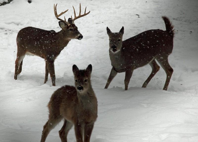 1280px-Whitetail-deer-family-winter-snow_-_West_Virginia_-_ForestWander