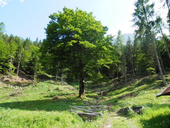 bidoch-albero