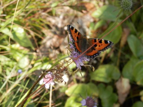 farfalla-zoldo-grisetti